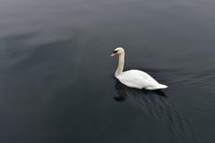 Cygne blanc dans l'eau noire calme Photographie stock libre de droits