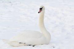 Cygne blanc dans la neige Photographie stock libre de droits