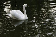 Cygne blanc dans le coucher du soleil de r?flexion de l'eau image libre de droits
