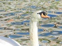 Cygne blanc dans le lac Photos libres de droits