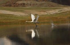 Cygne blanc dans le sauvage images stock