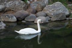 Cygne blanc de flottement Oiseau gracieux élégant extérieur Image libre de droits