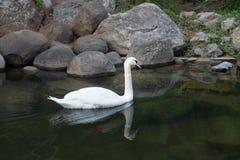 Cygne blanc de flottement Oiseau gracieux élégant extérieur Photo stock