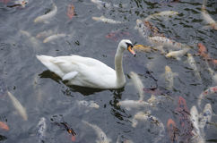 Cygne blanc entouré par Koi Fish Photo stock