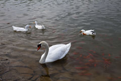 Cygne blanc et poissons rouges Image stock