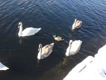 Cygne blanc et un canard Images stock