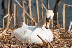 Cygne blanc femelle dans son nid, multipliant Images stock