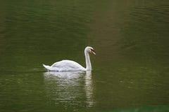 Cygne blanc flottant dans un étang de pays Photographie stock