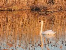 Cygne blanc flottant sur l'eau Image libre de droits