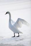 Cygne blanc gracieux Photos libres de droits