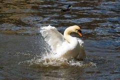 Cygne blanc gracieux sur la surface de l'eau Images libres de droits