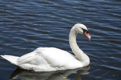 Cygne blanc/lac blanc de cygne Photo libre de droits