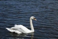 Cygne blanc/lac blanc de cygne Photographie stock libre de droits