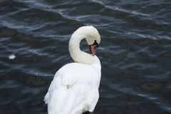 Cygne blanc/lac blanc de cygne Photos libres de droits