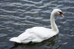 Cygne blanc/lac blanc de cygne Photo stock