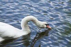 Cygne blanc/lac blanc de cygne Images libres de droits