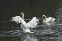 Cygne blanc/lac blanc de cygne Image stock