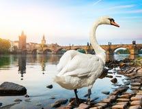 Cygne blanc ? Prague photos stock