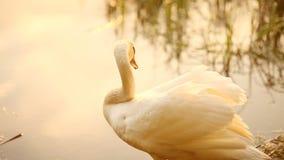 Cygne blanc se tenant sur le rivage d'herbe sans compter que la rivière banque de vidéos