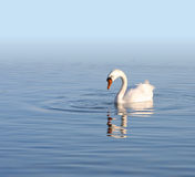 Cygne blanc seul Photo stock