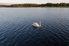Cygne blanc seul dans un coucher du soleil de l'OM de lac Photos stock