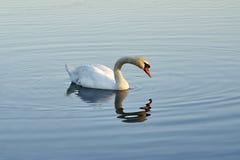 Cygne blanc sur l'eau image libre de droits