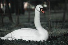 Cygne blanc sur l'herbe photo stock