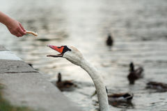 Cygne blanc sur la rivière Image stock