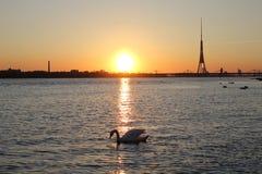 Cygne blanc sur la rivière près du centre de la ville Image stock