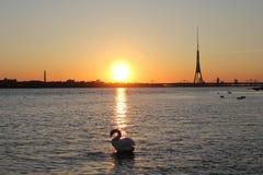 Cygne blanc sur la rivière près du centre de la ville Image libre de droits