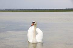 Cygne blanc sur la surface de l'eau. photos libres de droits