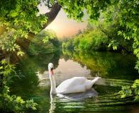 Cygne blanc sur le lac photos libres de droits