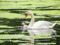 Cygne blanc sur le lac photos stock