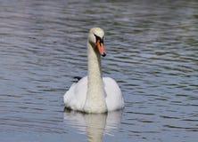 Cygne blanc sur le lac Photographie stock libre de droits