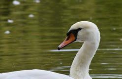 Cygne blanc sur le lac Images stock