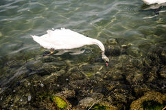 Cygne blanc sur le lac Balaton Photo libre de droits