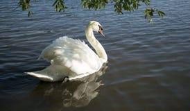 Cygne blanc sur le lac bleu Image stock