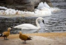 Cygne blanc sur le lac en hiver Photographie stock