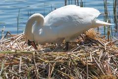 Cygne blanc sur son nid Photographie stock libre de droits