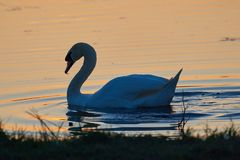 Cygne blanc sur un fond de l'eau de coucher du soleil photos libres de droits