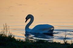Cygne blanc sur un fond de l'eau de coucher du soleil photographie stock