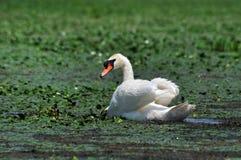 Cygne blanc sur un lac images libres de droits