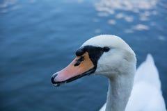 Cygne blanc sur un lac bleu Image libre de droits