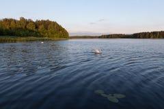 Cygne blanc sur un lac bleu sur le coucher du soleil Photos stock