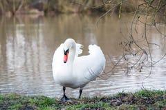 Cygne blanc sur un lac de source, Allemagne Photos stock