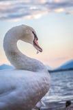 Cygne blanc, vue de côté avec le cou incurvé et bec tenant un feathe Photo libre de droits