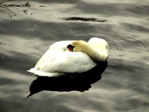 Cygne, boudeur, timide, se cachant, repos, malade photographie stock