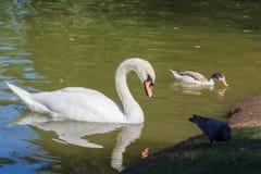 Cygne, canard et pigeon blancs en parc Photo libre de droits