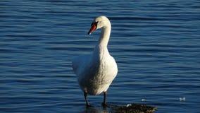 Cygne chez la Mer Noire Images libres de droits