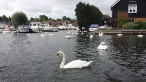 Cygne chez la Norfolk Broads photos stock